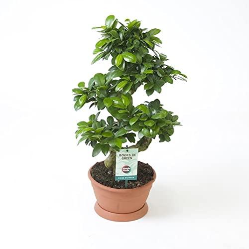 Planta de interior de Botanicly – Ficus bonsai – Altura: 60 cm – Ficus microcarpa Ginseng