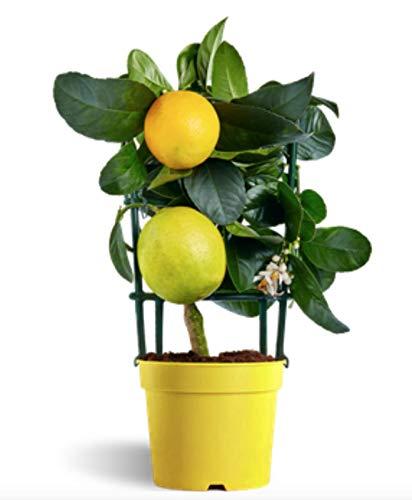 Meyer Lemon - Limonero enano de interior - Maceta de 14cm - Fruta comestible (´Árbusto)