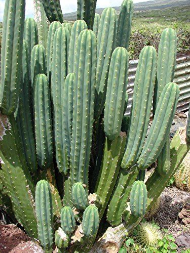 Asklepios-seeds - 100 Semillas trichocereus pachanoi Cactus de San Pedro, wachuma, huachuma, aguacolla